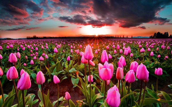 thumb2-wildflowers-pink-flowers-pink-tulips-tulips