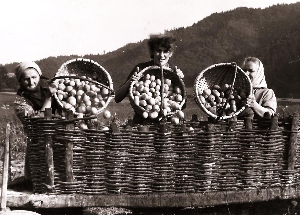 Pobiranja krompirja372