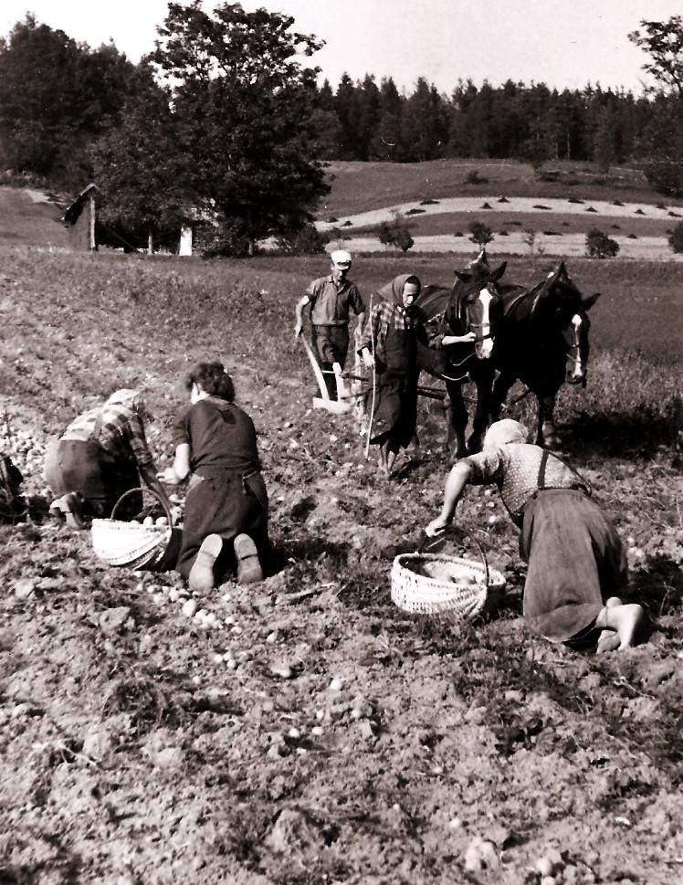 Pobiranja krompirja 1373