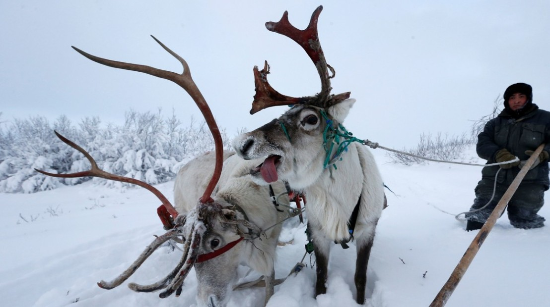 The Wider Image: Reindeer herding in Russia's Arctic