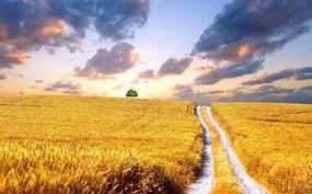 žitna polja