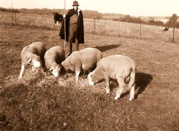 Jože Barbič upokojedn rudar pase svoje ovce2594